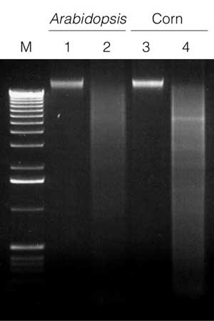 Restriction enzyme digestion of genomic DNA following isolation from Arabidopsis and corn.